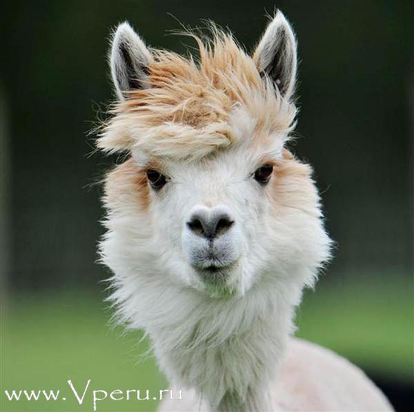 alpaca_3_1.jpg